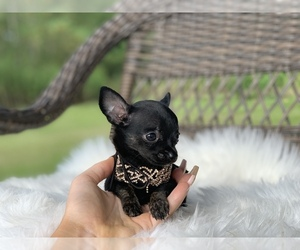 Chihuahua Puppy for Sale in HOUSTON, Texas USA