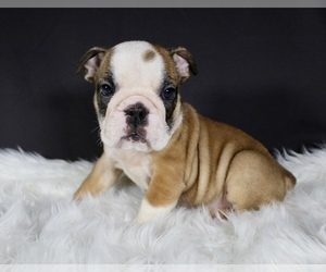Bulldog Puppy for Sale in LITTLE ELM, Texas USA