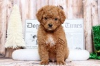 Golden Retriever-Poodle (Toy) Mix Puppy For Sale in BEL AIR, MD, USA
