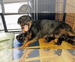Small #32 Rottweiler