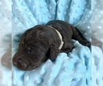 Puppy 2 Labradoodle