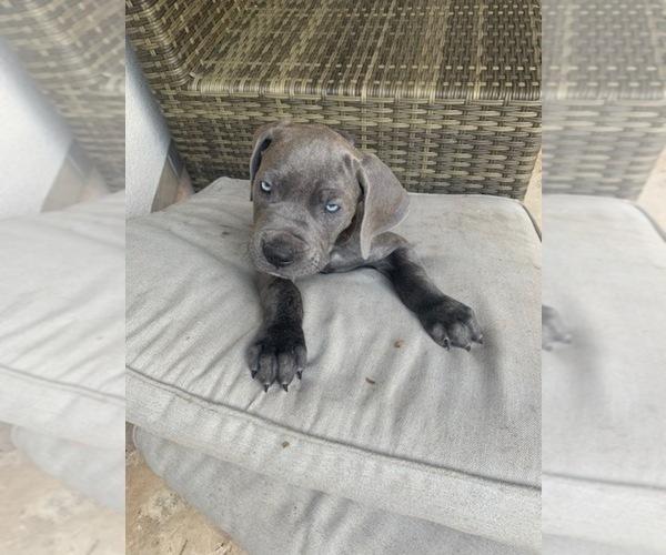 Medium Photo #1 Cane Corso Puppy For Sale in SAN ANTONIO, TX, USA