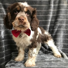 Medium Cocker Spaniel