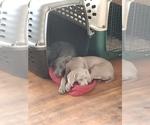 Weimaraner Puppy For Sale in MINNEAPOLIS, MN, USA