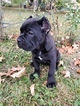 Cane Corso Puppy For Sale in ATWATER, OH,