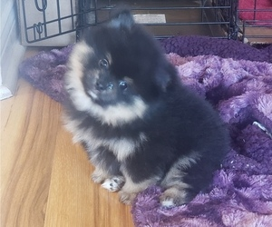Pomeranian Puppy for sale in LAKE ELSINORE, CA, USA