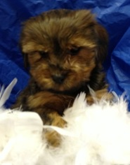 Morkie Puppy For Sale in CONOWINGO, MD
