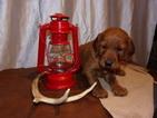 Irish Setter Puppy For Sale near 17980, Tower City, PA, USA