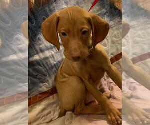 Vizsla Puppy for Sale in ALPINE, Texas USA