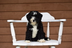 Miniature Bernedoodle Puppy Dundee Ohio Queenie