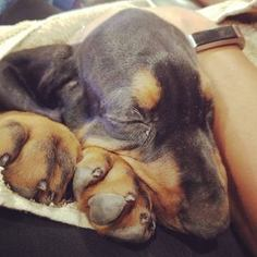 Black and Tan Coonhound Puppy For Sale in DOWNEY, CA, USA