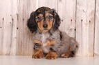 Dachshund Puppy For Sale in MOUNT VERNON, Ohio,