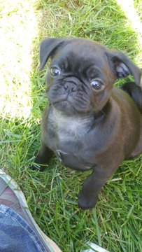 View Ad: Pug Puppy for Sale near New York, ROCHESTER, USA
