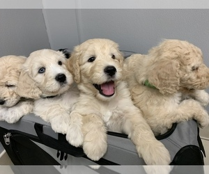 Goldendoodle-Unknown Mix Puppy for sale in FRIDLEY, MN, USA
