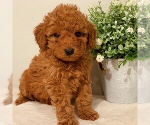 Goldendoodle-Poodle (Miniature) Mix Puppy for sale in NEWPORT, PA, USA