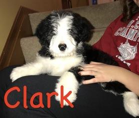 Male Bordoodle Clark