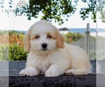 Small Bernedoodle-Poodle (Miniature) Mix