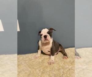 English Bulldog Puppy for sale in REVERE, MA, USA