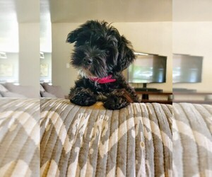 Yorkiepoo-Yorkshire Terrier Mix Puppy for sale in MARBLE FALLS, TX, USA