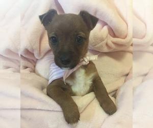 Medium Jack Russell Terrier