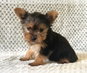 Australian Yorkshire Terrier Puppy for sale in CLAY, PA, USA