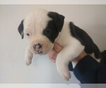 Puppy 7 American Bulldog