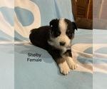 Small #17 Australian Shepherd