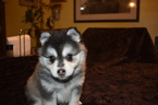 Alaskan Klee Kai Puppy For Sale in AUMSVILLE, OR