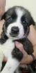 Puppy 3 Alaskan Husky-German Shepherd Dog Mix