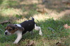 Beagle Puppy For Sale in AVA, MO, USA