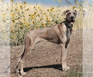 Mother of the Great Dane puppies born on 03/11/2020
