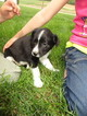 Border Collie Puppy For Sale in MC VEYTOWN, PA, USA