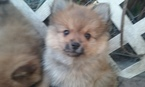 Pomeranian Puppy For Sale in ELLENTON, FL, USA