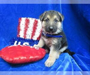 German Shepherd Dog Puppy for Sale in HARTVILLE, Missouri USA