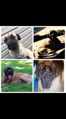 Mastiff Puppy For Sale in CUSHING, OK