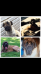 Akc registered mastiff puppies