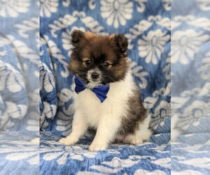 Pomeranian Puppy for sale in PEACH BOTTOM, PA, USA