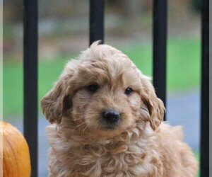 Goldendoodle-Poodle (Miniature) Mix Puppy for sale in NEWMANSTOWN, PA, USA