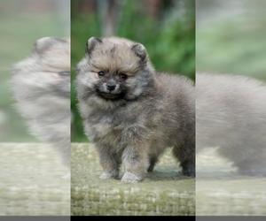 Pomeranian Puppy for sale in KLEIN, TX, USA