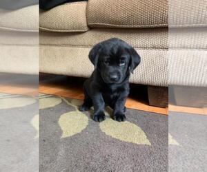 Labrador Retriever Puppy for Sale in BEAVER, West Virginia USA