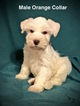 Schnauzer (Miniature) Puppy For Sale in SMITHVILLE, MS, USA