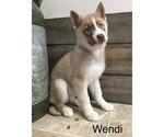 Small Photo #9 Siberian Husky Puppy For Sale in DEARBORN, MO, USA