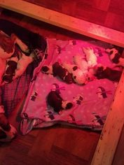 American Bulldog Puppy for sale in SIOUX CITY, IA, USA
