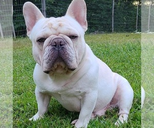 Father of the French Bulldog puppies born on 11/28/2020