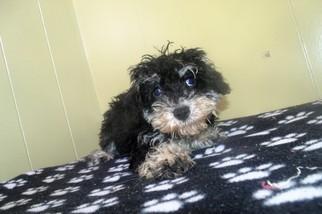 Poodle (Standard)-Schnauzer (Miniature) Mix Puppy for sale in PATERSON, NJ, USA