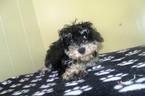 Poodle (Standard)-Schnauzer (Miniature) Mix Puppy For Sale in PATERSON, NJ