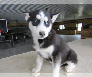 Siberian Husky Puppy for sale in INDIANAPOLIS, IN, USA