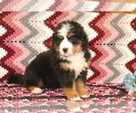 Small #3 Bernese Mountain Dog