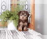 Small #2 Yorkie-Poo