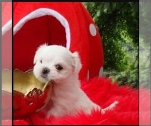 Maltese Puppy for sale in GRANDIN ROAD, VA, USA